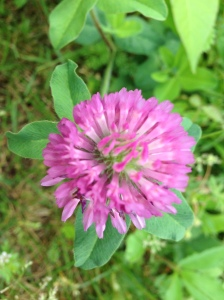 Red Clover - Why would you not like this?