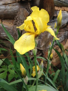 My irises did not get divided in the Fall so they are not as plentiful as usual.