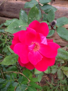 The roses are starting to bloom.
