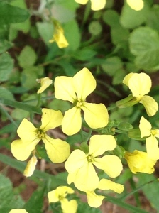 Wildflowers, weeds, whatever you want to call them, are welcome if they bring some happy yellow with them.