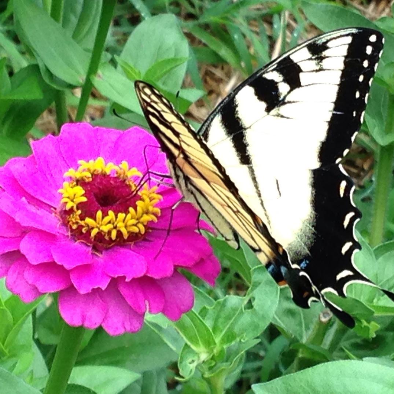 zinna butterfly 2016