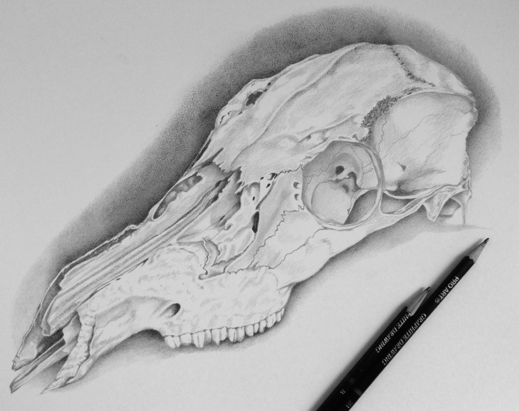 deer-skull-drawing