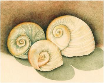 Three shells LR